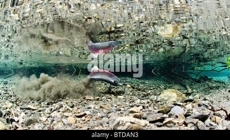 Vue sous-marine d'un saumon rouge femelle le creusement d'une puissance, redd Creek, Delta de la rivière Copper, Prince William Sound, Alaska