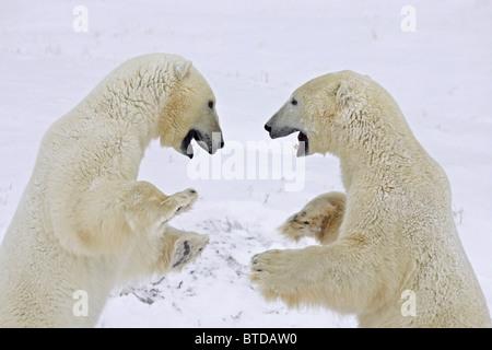 Deux ours polaires (Ursus maritimus) se tenir sur leurs pattes et jouer lutte à Churchill, Manitoba, Canada, Hiver Banque D'Images