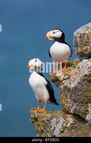 Paire de Macareux cornu perché sur rock ledge avec la mer de Béring en arrière-plan, l'île Saint-Paul, îles Pribilof, Alaska Banque D'Images