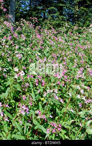 Balsamine de l'Himalaya est une plante nuisible dans de nombreuses parties de l'Allemagne