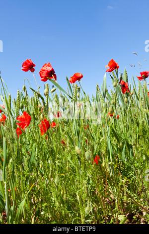 Coquelicots dans un champ de blé près du village de Cotswold Condicote, Gloucestershire Banque D'Images