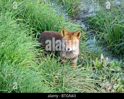 Le renard roux (Vulpes vulpes), le plus grand de la vrai renards Banque D'Images
