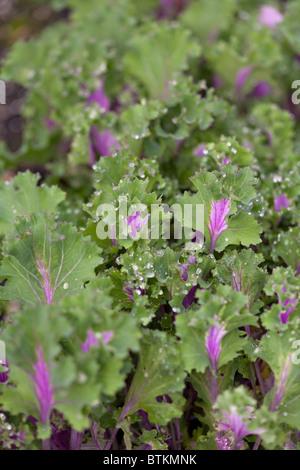 Jeunes plants de kale rouge de Kamome Banque D'Images
