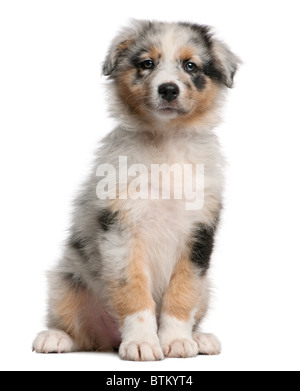 Chiot Berger Australien bleu merle, 10 semaines old, in front of white background Banque D'Images