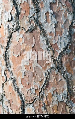 Le pin sylvestre (Pinus sylvestris) close-up de l'écorce jardin Cambridgeshire Angleterre Angleterre Europe Banque D'Images