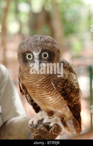 L'Australie, le territoire du Parc de la faune, l'Owl Banque D'Images