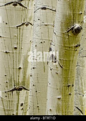 Les troncs d'arbre à Aspen Grove, Hart Prairie sur le San Francisco Peaks, Coconino National Forest, près de Flagstaff, Banque D'Images
