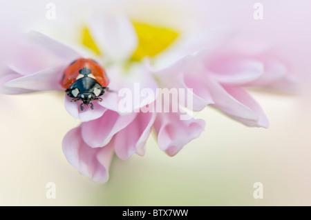 Coccinella septempunctata - Coccinella 7-punctata - 7-spot Ladybird sur une fleur rose Daisy Banque D'Images