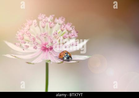 Coccinella septempunctata - Coccinella 7-punctata - 7-spot Ladybird sur une fleur Astrantia Banque D'Images