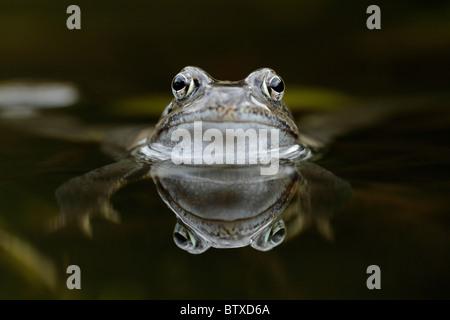 Grenouille Rousse (Rana temporaria), en étang de jardin, Allemagne Banque D'Images