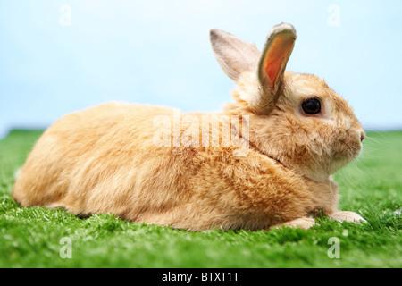Image de lapin mignon sur l'herbe verte sur fond de ciel bleu Banque D'Images