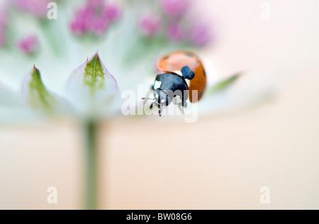 Un gros plan d'un 7-spot Ladybird sur une fleur Astrantia Banque D'Images
