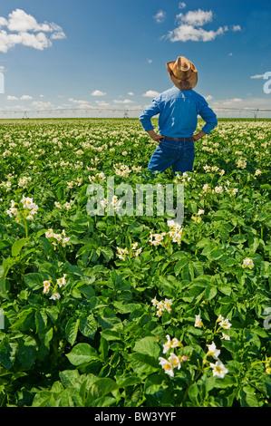 Farmer donne sur un champ de pommes de terre en fleurs avec système d'irrigation à pivot central sur l'horizon, près de Somerset, au Manitoba