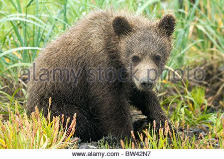 L'ours brun d'Alaska Cub assis dans un pré, Lake Clark National Park, Alaska Banque D'Images