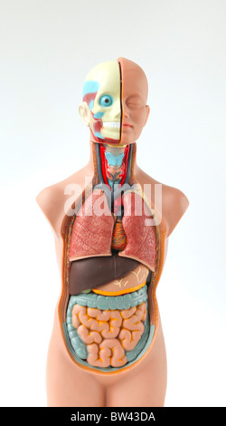 Modèle anatomique