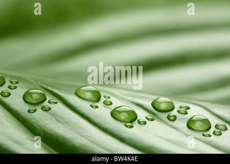 Les gouttes d'eau sur les feuilles de l'empreinte Banque D'Images