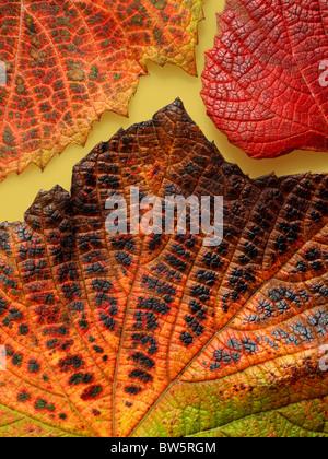 Macro close-up de nervures des feuilles de vigne d'automne Banque D'Images