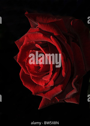 Une rose rouge Close-up Banque D'Images