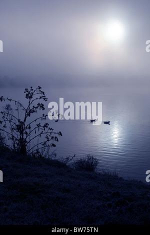 Deux canards nager à travers une sombre Misty Lake Banque D'Images