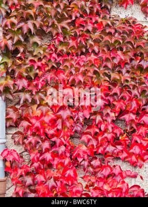 L'automne les feuilles de lierre rouge couvrant un mur Banque D'Images