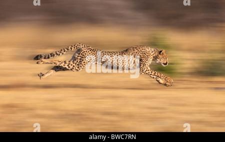 Le guépard chasse ses proies à pleine vitesse de croisière, la Namibie Banque D'Images