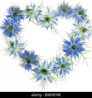 Love-dans-le-mist - Nigella damascena Fleurs disposées en forme de coeur avec un fond blanc