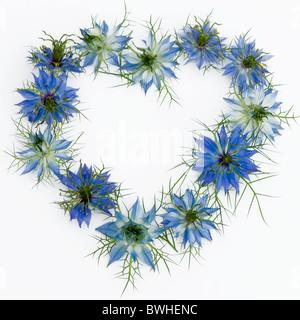 De cheveux de fleurs - Nigella damascena disposés en forme de coeur avec un fond blanc