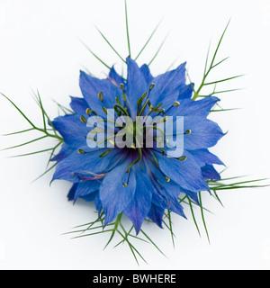 Une seule fleur bleu - Nigella damascena de cheveux de sur un fond blanc.
