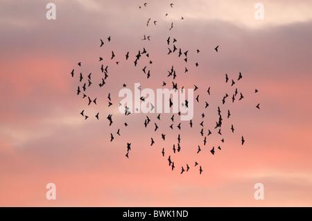 Un rassemblement fixant troupeau contre un ciel rouge au coucher du soleil, Brandon Marsh, Warwickshire