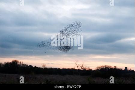 Murmuration exaltation, un troupeau de starling évitant les attentions d'une chasse longue queue de la Brandon Marsh, Warwickshire