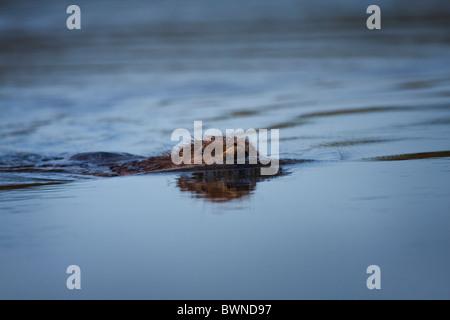 Le Castor d'Europe Castor fiber nageant dans un étang.