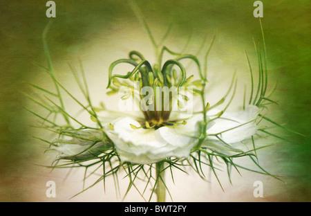 Nigella damascena - cheveux de fleur blanche