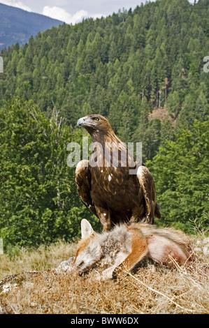 L'Aigle royal (Aquila chrysaetos), adultes avec Red Fox (Vulpes vulpes) tuer, Autriche