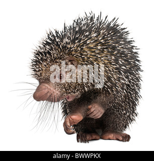 Coendou prehensilis brésilien, Porcupine, in front of white background Banque D'Images