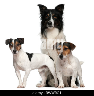 Border Collie et Jack Russells, 7 ans, 5 ans, 3 ans, in front of white background Banque D'Images