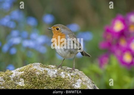European Robin (Erithacus rubecula aux abords) adulte, perché sur la pierre en jardin, Angleterre, juillet Banque D'Images
