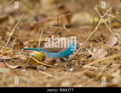 Blue Waxbill Uraeginthus angolensis Parc National Kruger en Afrique du Sud