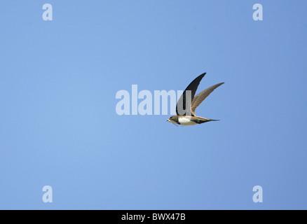 Martinet (Apus melba), adultes en vol, la collecte de matériaux de nidification, l'ouest de la Turquie, mai Banque D'Images