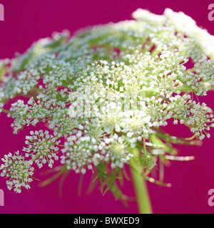 L'ammi magnifique cerise sur la photographie JABP Jane-Ann Butler892 Banque D'Images