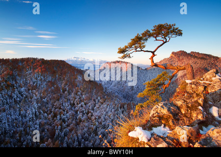 Seul arbre à Montagnes Pieniny, Sokolica Peak, Pologne Banque D'Images