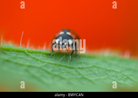 Close-up, macro image d'un 7-spot Ladybird - Coccinella septempunctata reposant sur le rouge vibrant d'un pétale Banque D'Images