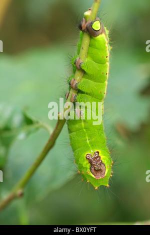 Papillon de lune indienne caterpillar, actias selene, hanging on branch Banque D'Images