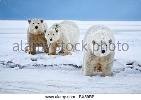 Un curieux polar bear sow avec sa jumelle deux ans d'oursons marche Une plage enneigée sur la côte de la mer de Banque D'Images