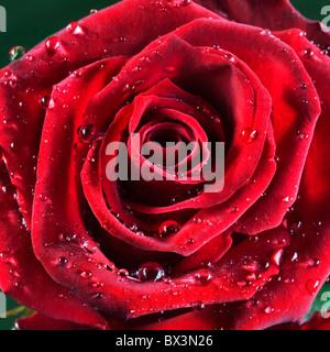 Rose rouge couvert de gouttes d'eau Banque D'Images