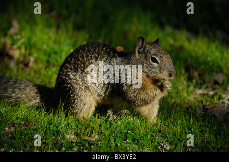 Californie (Spermophilus beecheyi) Banque D'Images