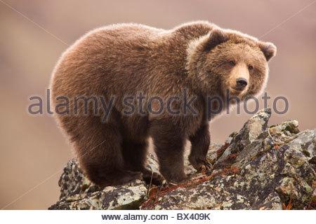 Le grizzli, l'ours brun, également appelé Parc National Denali, en Alaska. Banque D'Images