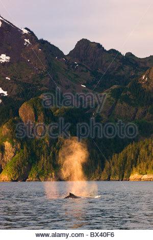 Rorqual à bosse, Kenai Fjords National Park, près de Seward, en Alaska. Banque D'Images