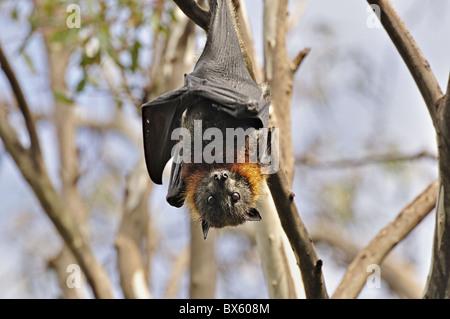 Renard volant à tête grise (Pteropus poliocephalus), Yarra Bend Park, Melbourne, Victoria, Australie, Pacifique Banque D'Images