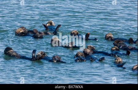 Grand groupe de loutres de mer (Enhydra lutris), se détendre et se reposer dans la mer au large de la Californie du sud.