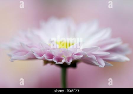 Un seul Anglais Daisy Flower - Bellis perennis